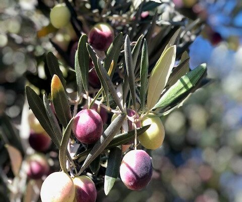olive pick 7