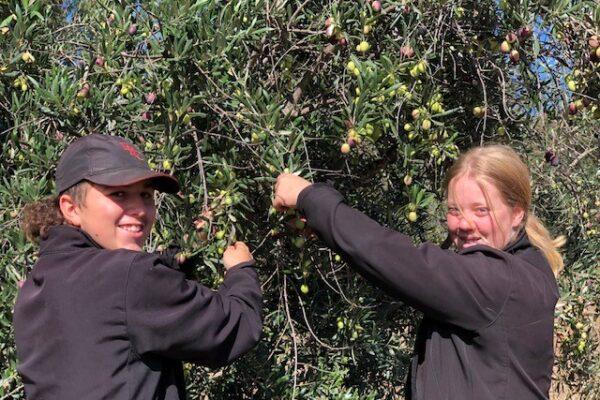 olive picking 8