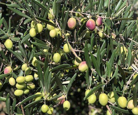 olive picking 9